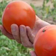 АНИТА F1 (KS 829 F1) - семена томата детерминантного, 1 000 семян, Kitano Seeds, фото 1