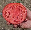 KS 835 F1 - семена томата детерминантного, 1 000 семян, Kitano Seeds