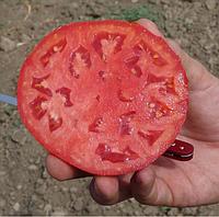 KS 835 F1 - семена томата детерминантного, 1 000 семян, Kitano Seeds, фото 1