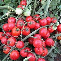 КОНОРИ F1 - семена томата детерминантного, 1 000 семян, Kitano Seeds, фото 1