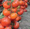 ДОФУ F1 - насіння томату індетермінантного, 1 000 насінин, Rijk Zwaan