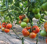 ЯДВИГА F1 - семена томата полудетерминтного, 1 000 семян, Kitano Seeds, фото 1