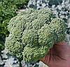 АГАССИ F1 -  семена капусты брокколи калиброванные, 1 000 семян, Rijk Zwaan