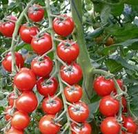 АРОМА F1 - семена томата, Yuksel Seeds