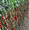 МАРГОЛЬ F1 - семена томата, Yuksel Seeds