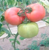 ПИНК ПАНТЕР F1 - семена томата, Yuksel Seeds