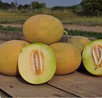 РАДМИЛА F1 (Медетли) - насіння дині, Yuksel Seeds
