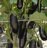 ДЕСТАН F1 - семена баклажана, Enza Zaden