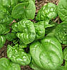 Матадор семена шпината