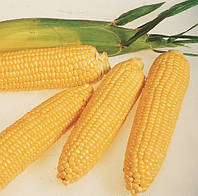 ЛЕЖЕНД F1 - семена сладкой кукурузы, CLAUSE