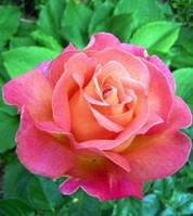 Саженец роз чайно-гибридной БИРДИ