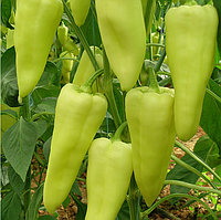 ЭЛМАС F1 - семена перца, Yuksel Seeds