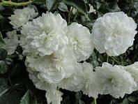 Саженцы розы почвопокровной БЕЛАЯ махровая