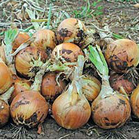 БУРСА F1 - лук репчатый, Syngent 250 000 семян