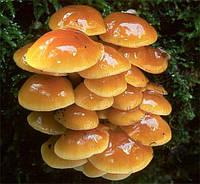Мицелий (грибница) ОПЕНКА НАМЕКО маточный зерновой биологически высушеный
