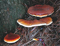 Мицелий (грибница) РЕЙШИ маточный зерновой биологически высушеный