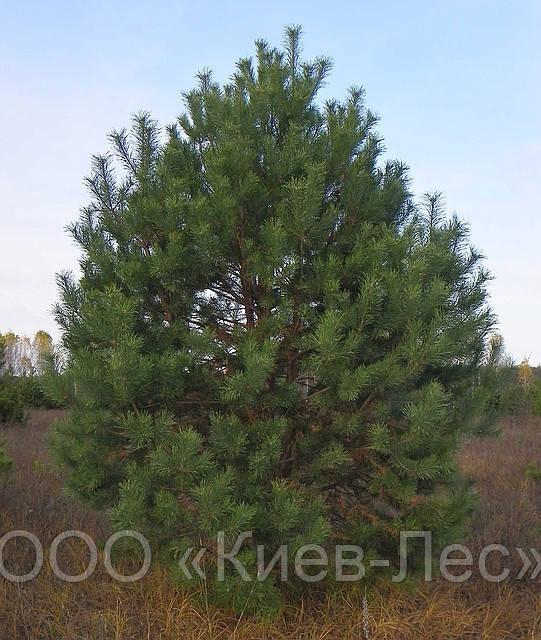 Саженцы сосны высотой 0,5-4 метра.