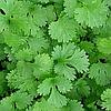 КАРИБЕ  - семена кинзы, 500 грамм, Bejo Zaden