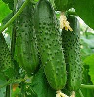 ПЛАТИНА F1 - семена огурца партенокарпического, 1 000 семян, Bayer Nunhems