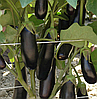 ДЕСТАН F1 - насіння баклажана, 10 грам, Enza Zaden