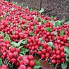 СОРА F1 - семена редиса, 250 грамм, HILD