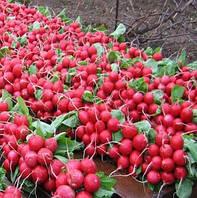 СОРА F1 - семена редиса, 250 грамм, HILD, фото 1