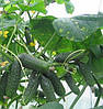 СПИНО F1 - семена огурца партенокарпического, 500 семян, Singenta