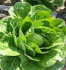КВИНТУС - семена салата тип Ромэнд дражированные, 1 000 семян, Rijk Zwaan