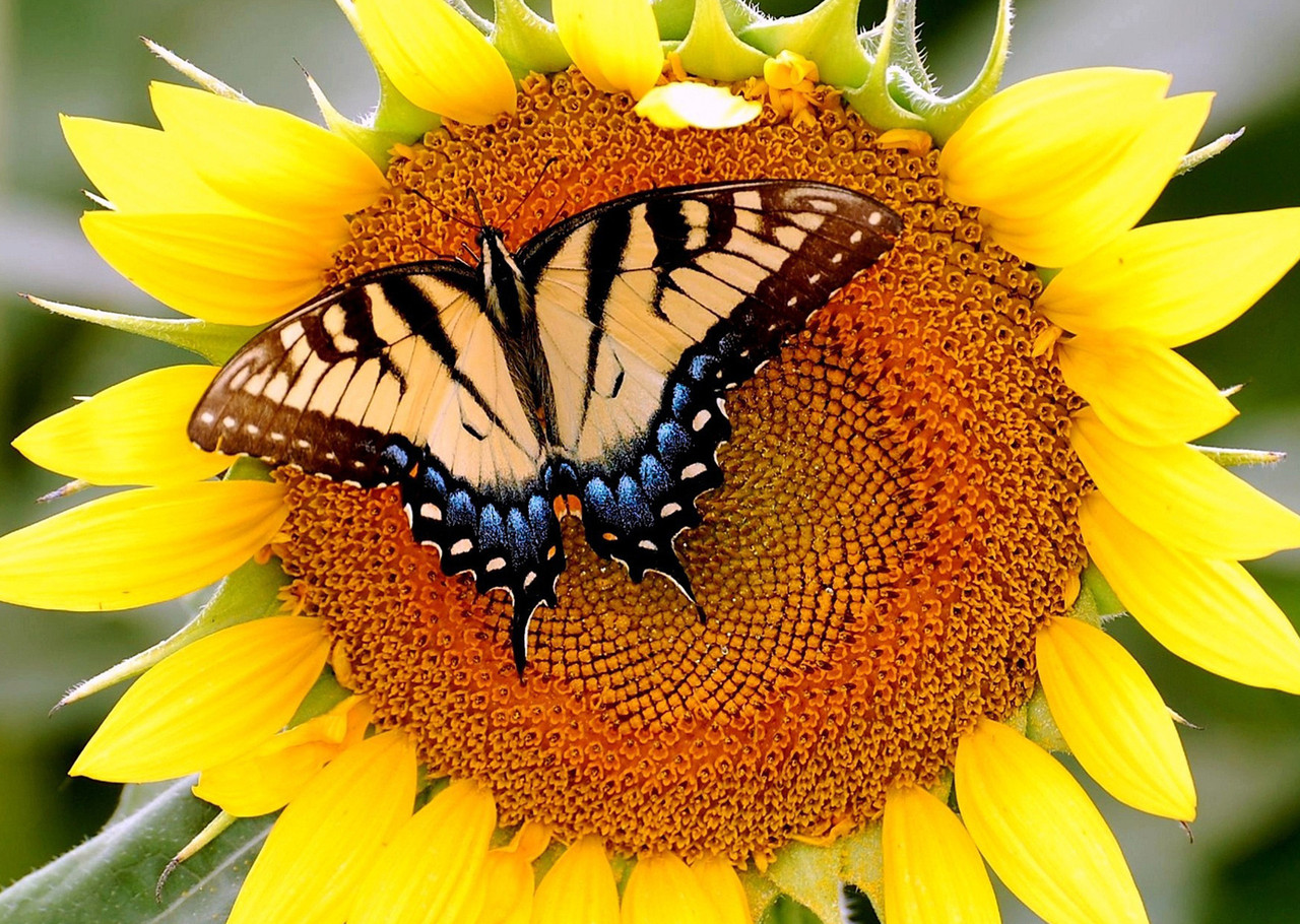 """Картина на стекле """"Sunflower with butterfly"""""""