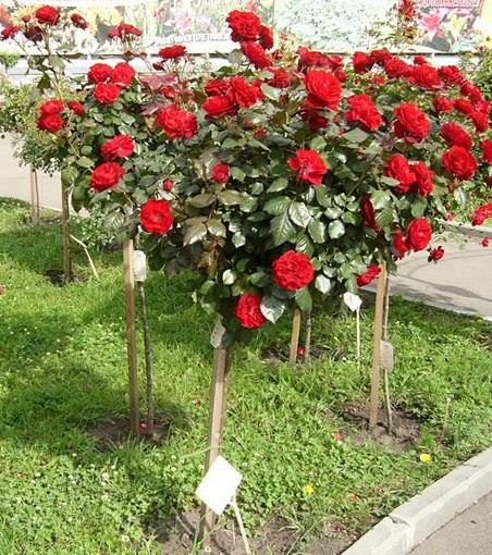 розы деревья фото
