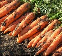 Ньюхолл F1 семена моркови Нантес PR (1,6-1,8 мм), фото 1