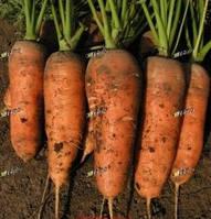 Шамарэ семена моркови Шантане, фото 1