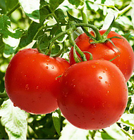 ТЕРРА КОТТА F1 - семена томата, Syngenta, фото 1