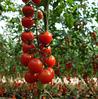 ВАЛДО F1 - томат индетерминантный, Semo