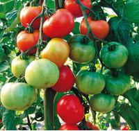 ТОРО F1 - томат индетерминантный, Semo