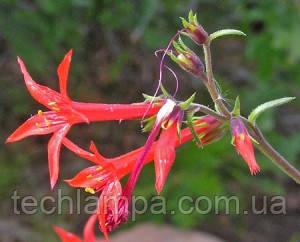 Растения Scarlet Gilia
