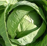 СТАРТ F1 - семена капусты, Moravoseed, фото 1