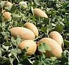 ВОЛЛЕР F1 - семена дыни тип Галлия, 1 000 семян, Bayer
