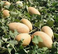 ВОЛЛЕР F1 - семена дыни тип Галлия, 1 000 семян, Bayer, фото 1