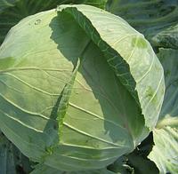 НАОМИ F1 - семена капусты белокочанной, 2 500 семян, Kitano Seeds, фото 1