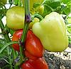 ЯНИКА F1 - семена перца сладкого, 1 000 семян, Kitano Seeds