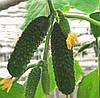 АРТИСТ F1 - семена огурца партенокарпического, 1 000 семян, Bejo Zaden