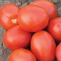 АДВАНС F1  - семена томата детерминантного, дражированные, 25 000 семян, Bayer, фото 1
