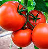 БОСТИНА  F1 - семена томата индетерминантного, 2 500 семян, Syngenta