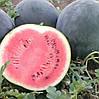 РЕД СТАР F1 - семена арбуза тип Шуга Бейби, 1 000 семян, Bayer
