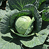 ЯНИСОЛЬ F1 - семена капусты белокочанной, 2 500 семян, Bayer