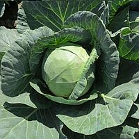 ЯНИСОЛЬ F1 - семена капусты белокочанной, 2 500 семян, Bayer, фото 1