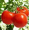 ТЕРРА КОТТА F1 - семена томата детерминантного, 2 500 семян, Syngenta