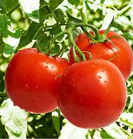 ТЕРРА КОТТА F1 - семена томата детерминантного, 2 500 семян, Syngenta, фото 1