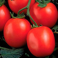 ФОРТИКС F1 (дражже) - семена томата детерминантного, 25 000 семян, Syngenta, фото 1